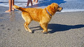 Golden Retriever dog playing in the Mediterranean sea. Happy puppy enjoying the game with his owner. Friendly dog stock. Image Stock Photo