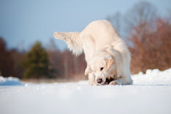 Golden retriever dog playing outdoors Royalty Free Stock Photos