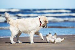 golden retriever dog playing with a puppy on the beach Royalty Free Stock Images