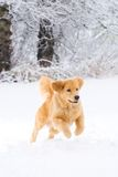 Golden Retriever Dog playing in the snow Royalty Free Stock Image