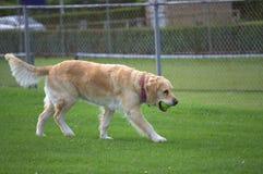 Golden Retriever dog playing Royalty Free Stock Photo