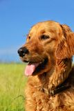 Golden retriever dog portrait Royalty Free Stock Photo