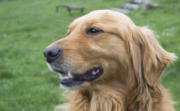 Golden Retriever dog portrait without leash outdoors Royalty Free Stock Photography