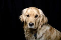 Golden Retriever Dog - Black Background Portrait. A golden retriever dog looks into the camera on a black backdrop Royalty Free Stock Photo