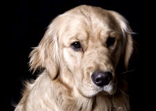 Golden Retriever Dog - Black Background Portrait. A golden retriever dog looks into the camera on a black backdrop Stock Images