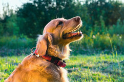 Golden retriever dog portrait in profile on nature Royalty Free Stock Photography