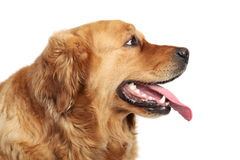 Golden Retriever dog portrait. Side view Royalty Free Stock Photos