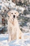 Golden retriever dog portrait in the snow Stock Photo