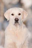 Golden retriever dog portrait in the snow Stock Photos