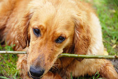 Golden retriever dog portrait with stick Royalty Free Stock Image