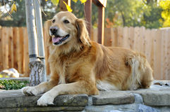 Golden Retriever Dog Posing 2 Stock Photography