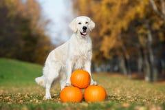 Golden retriever dog posing with pumpkins in autumn Stock Photos