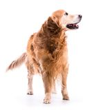 Golden retriever dog posing in studio Royalty Free Stock Photography