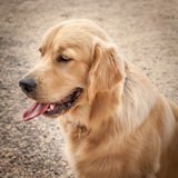 Golden Retriever Dog in Profile Sitting on a Path with Tongue Ou Stock Images
