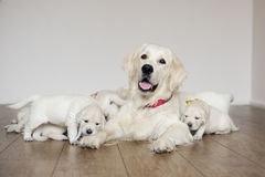 Golden retriever dog with puppies stock images