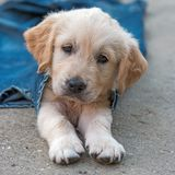 Golden retriever dog puppy in denim laying on the ground Royalty Free Stock Photography