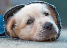 Golden retriever dog puppy in denim laying on the ground Stock Photo