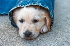 Golden retriever dog puppy in denim laying on the ground Royalty Free Stock Photos