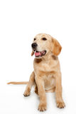Golden retriever dog puppy isolated on white Royalty Free Stock Image