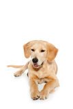 Golden retriever dog puppy isolated on white Stock Photos
