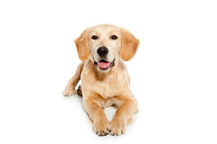 Golden retriever dog puppy isolated on white Royalty Free Stock Photography
