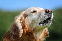 Golden retriever dog Royalty Free Stock Photos