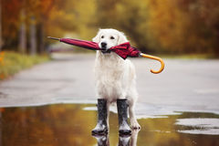Golden retriever dog in rain boots holding an umbrella outdoors in autumn. Dog in rain boots holding an umbrella in her mouth royalty free stock photography