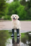 Golden retriever dog in rain boots standing in a puddle. Golden retriever dog posing in rain boots royalty free stock photos