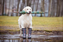 Golden retriever dog ready for rain Royalty Free Stock Photos
