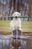 Golden retriever dog ready for rain Stock Images