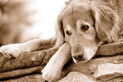 Golden Retriever Dog Resting royalty free stock photo