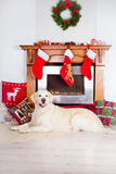 Golden retriever dog resting by the fireplace Stock Photography