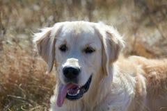 Golden Retriever Dog resting in grass Stock Photos