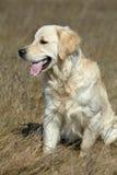 Golden Retriever Dog resting in grass Stock Photo