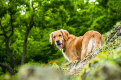 Golden Retriever Dog on a Rocky Cliff Royalty Free Stock Images