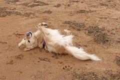 Golden retriever dog rolling on sand stock image