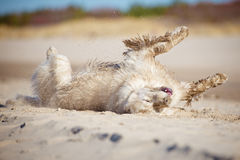Golden retriever dog rolling in the sand Royalty Free Stock Images