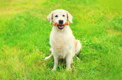 Golden Retriever dog with rubber bone toy on grass in summer Stock Images