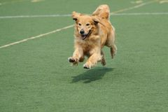 Golden retriever dog running royalty free stock photography