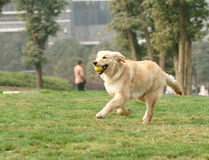 Golden retriever dog running with ball Stock Photo