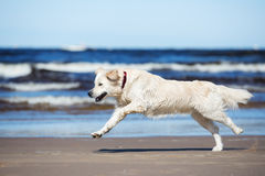 Golden retriever dog running on a beach Royalty Free Stock Photography