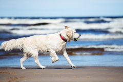 Golden retriever dog running on a beach Royalty Free Stock Images