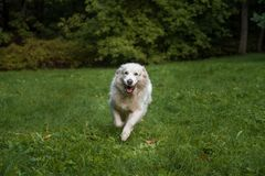 Golden Retriever Dog Running on the grass. Royalty Free Stock Image