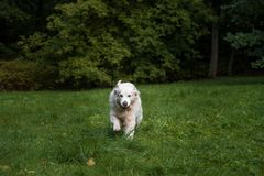 Golden Retriever Dog Running on the grass. Royalty Free Stock Images