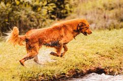 Golden retriever dog running on the grass going to jump into the. Golden retriever dog running on the grass, wet dog with water drops splash, going to jump into Stock Images
