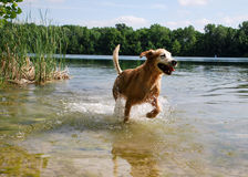 Golden Retriever Dog Running at the Lake. A golden retriever runs toward the camera on the shore of a lake / quarry / pond dripping in the sunshine Royalty Free Stock Photography