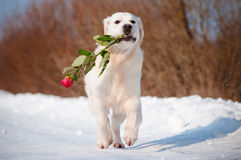 Golden retriever dog running with a rose Stock Photo