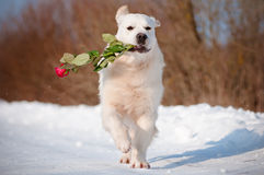 Golden retriever dog running with a rose Stock Image