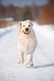 Golden retriever dog running in the snow Stock Image