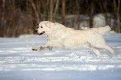 Golden retriever dog running on snow Stock Photography